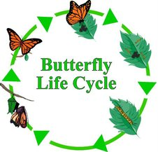 Life Cycle  From Caterpillar to Butterfly